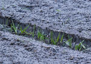 霜に育つ麦