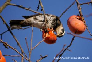 柿食うツグミ