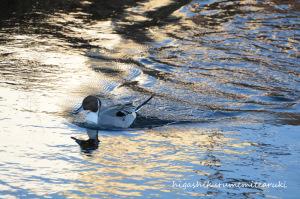 輝く川面とオナガガモ