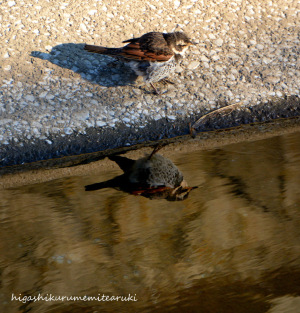 水辺のツグミ