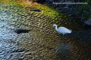 光る川面とコサギ