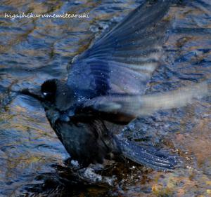 カラスの濡れ羽色