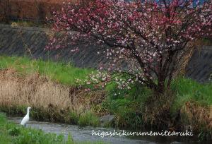 コサギと桃の花