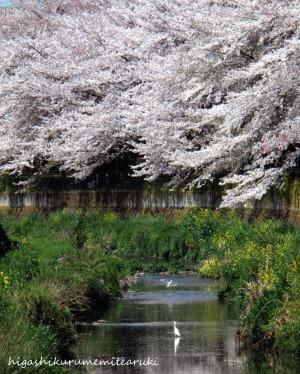 桜とコサギ