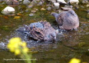 キジバトの水浴び