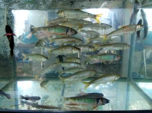 水槽のオイカワ