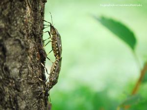 カメムシの交尾
