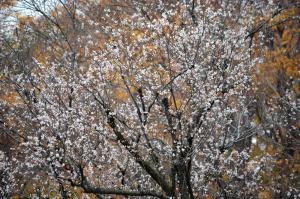 初冬に咲いた桜
