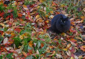 落ち葉と黒猫