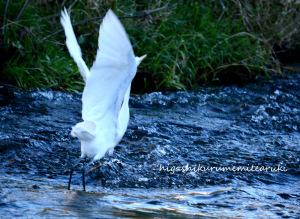 飛び去るダイサギ