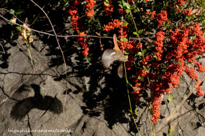 赤い実とジョウビタキ