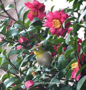 山茶花にメジロ