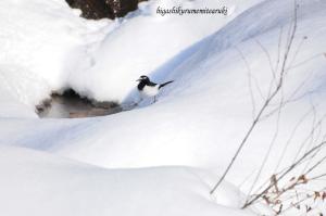 雪の上を歩くセグロセキレイ