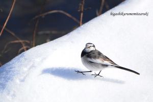 雪の上を歩くハクセキレイ