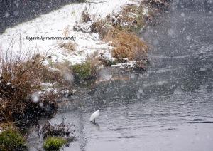 雪の中のサギたち