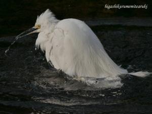 コサギの水浴び
