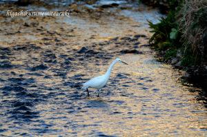 黄金の川面とコサギ