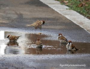 水たまりのスズメたち