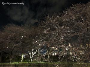 夜桜のコサギ