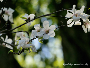 コブシの花