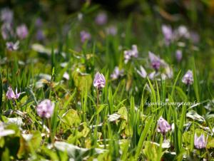 カタクリの花