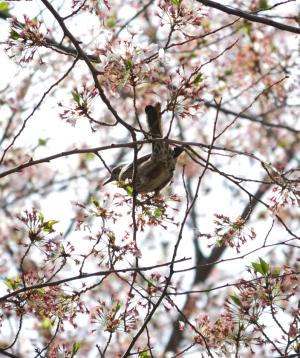 散った桜とヒヨドリ