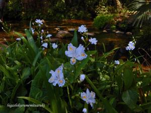 湧水に咲くシャガ