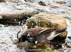 水浴びするムクドリ