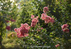 夕日に輝く百日紅の花
