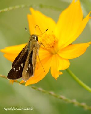 蜜を吸うセセリチョウ