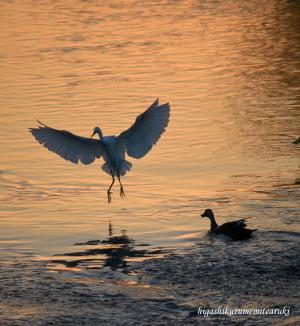 日暮れに飛ぶコサギ