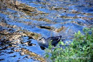 輝く川面とカルガモ