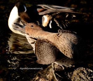 羽を繕うオナガガモ