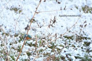 雪とカワセミ