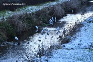 土手の雪とサギたち
