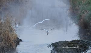 朝霧に飛ぶコサギ