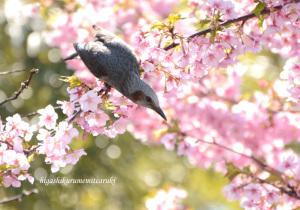 河津桜にヒヨドリ