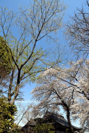 大円寺の桜