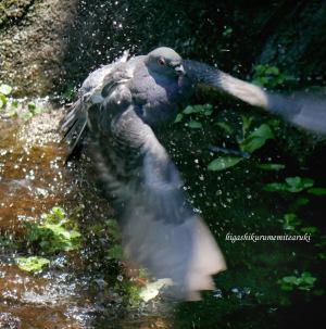ドバトの水浴び