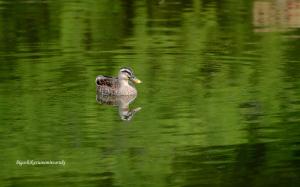 お池のカモさん