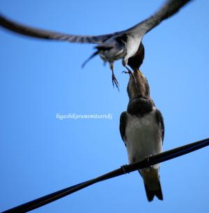 電線で餌渡し 燕の親子