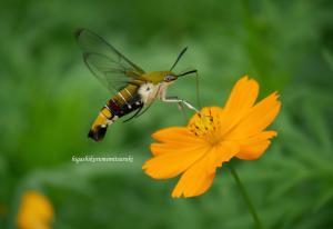 キバナコスモスと虫たち
