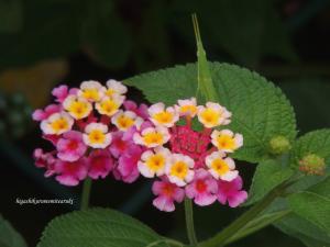 「七変化」の花