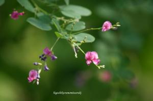 咲きはじめた萩の花