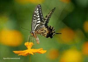 蜜を吸うナミアゲハ