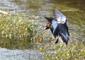 飛ぶヒドリガモ