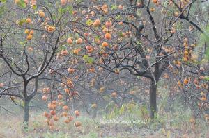 霧に浮かぶ柿の実