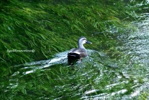 緑の水面にカルガモが