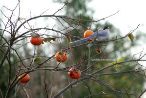柿の実とオナガ