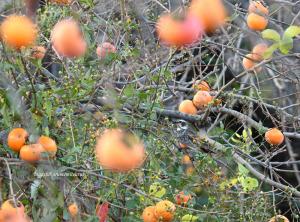 柿の木にとまるツグミ